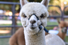 Alpaca Friend
